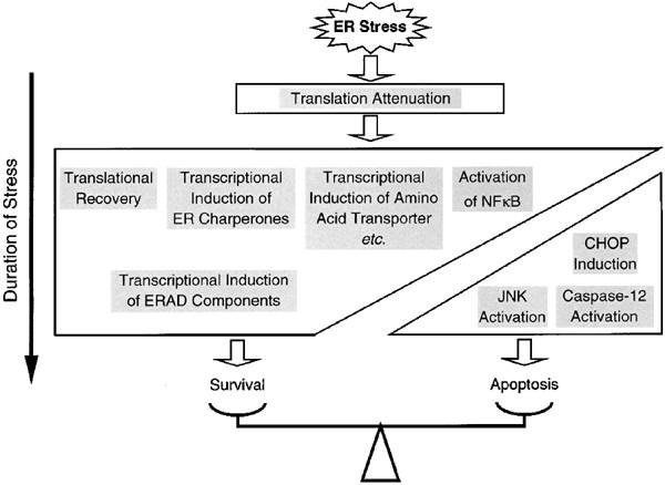 Roles of CHOP/GADD153 in endoplasmic reticulum stress | Cell
