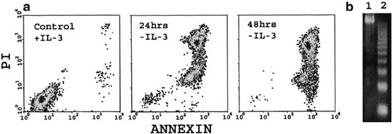 Functional cloning of SPIN-2, a nuclear anti-apoptotic protein with