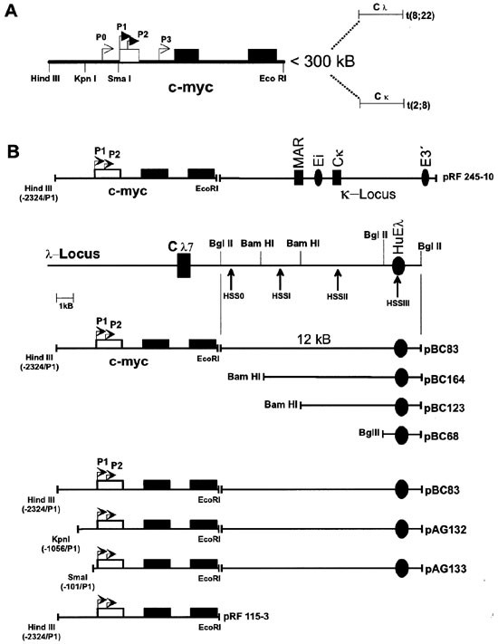 Deregulation of the proto-oncogene c- myc through t(8