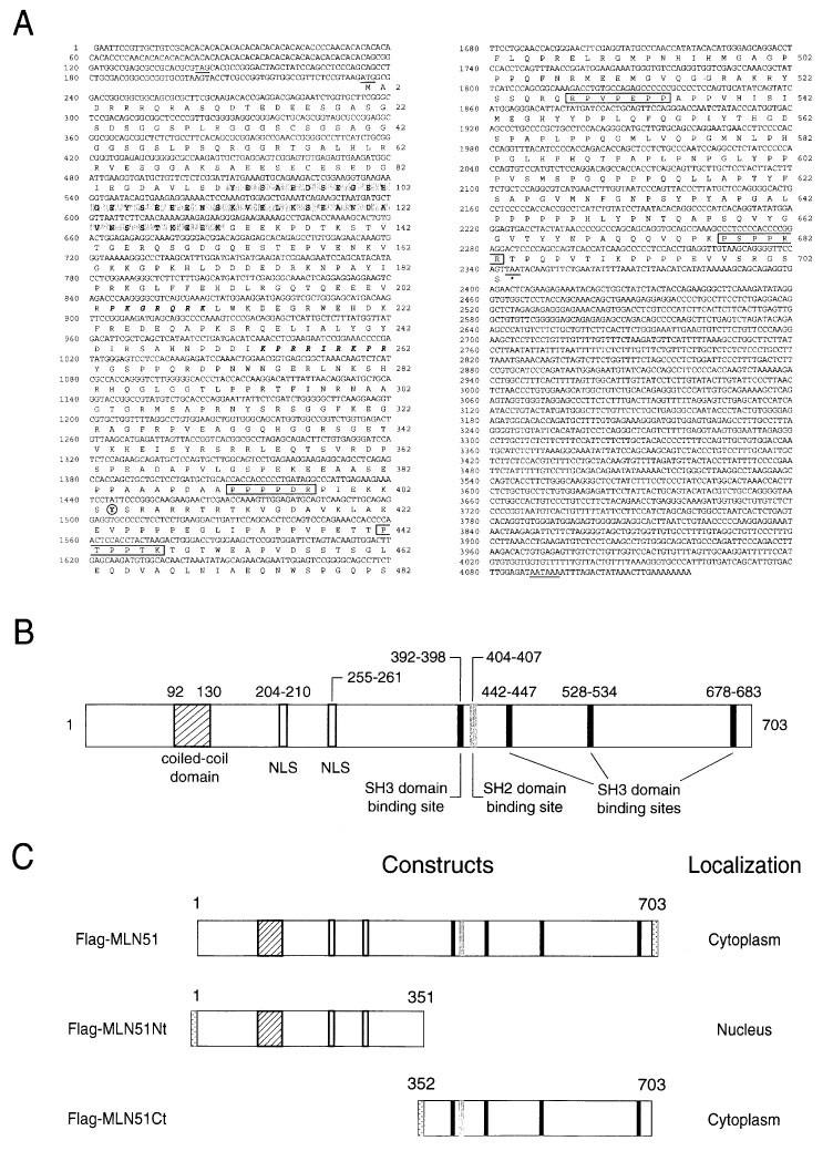 Metastatic Lymph Node 51, a novel nucleo-cytoplasmic protein