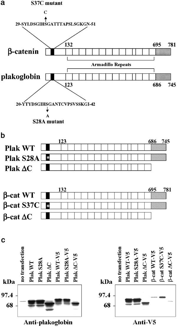 Plakoglobin ( γ -catenin) has TCF/LEF family-dependent