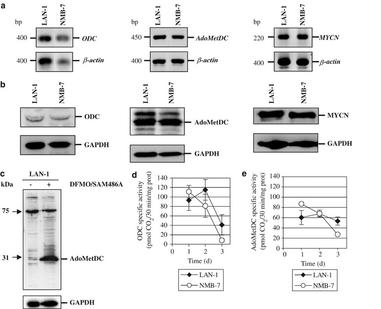 Key role for p27 Kip1 , retinoblastoma protein Rb, and MYCN