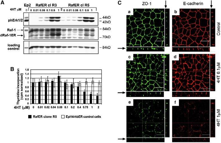 Raf plus TGF β -dependent EMT is initiated by endocytosis and