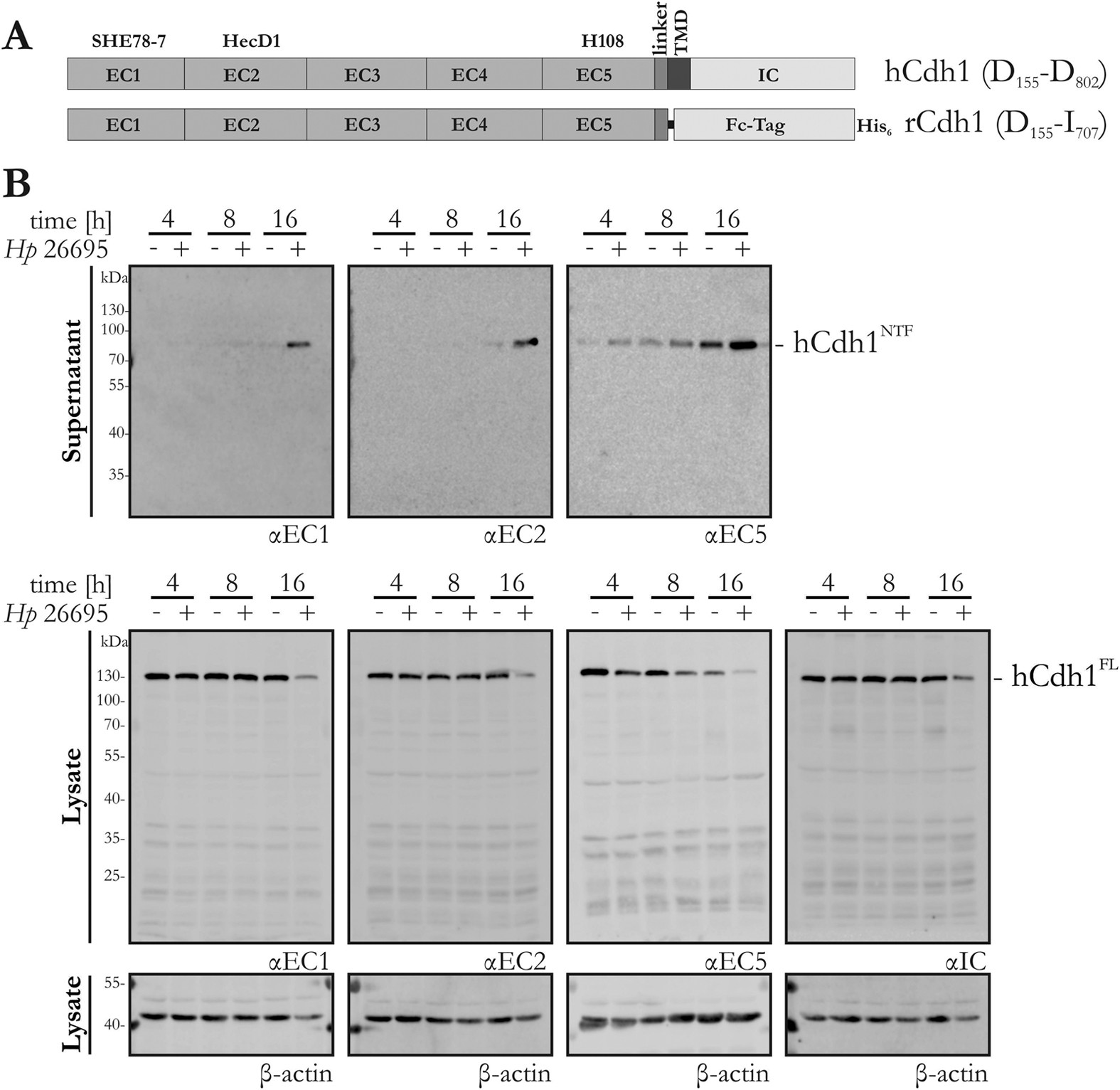 Identification of E-cadherin signature motifs functioning as