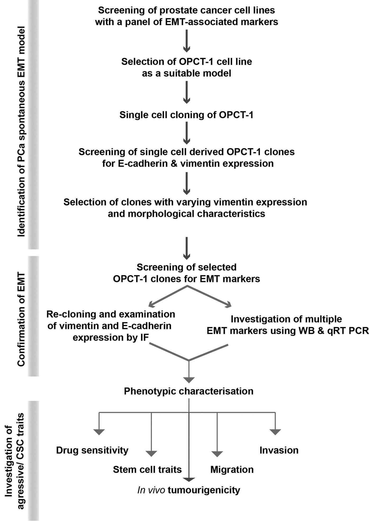 A Novel Spontaneous Model Of Epithelial Mesenchymal