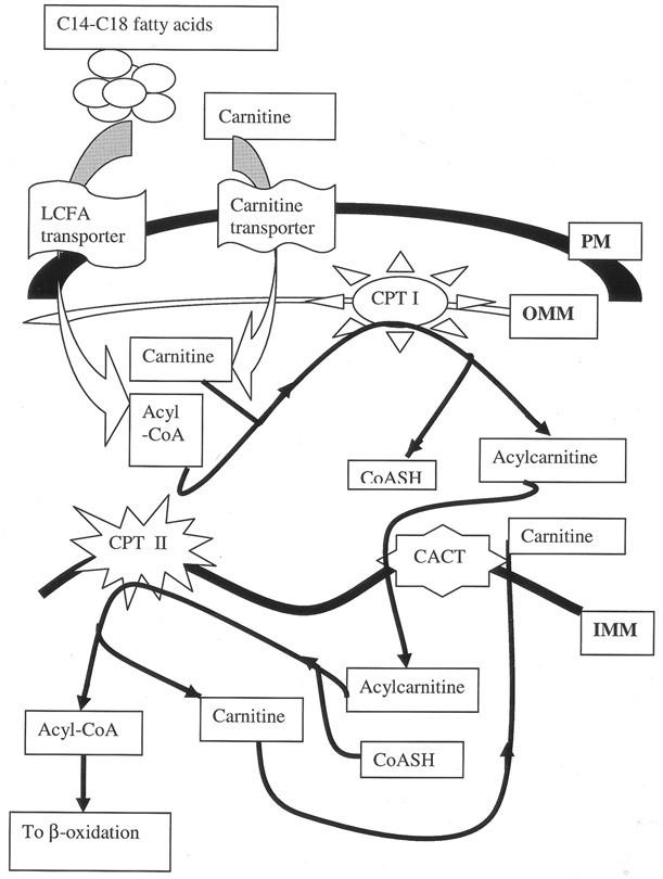 Carnitine Palmitoyltransferase Ii Deficiency A Clinical