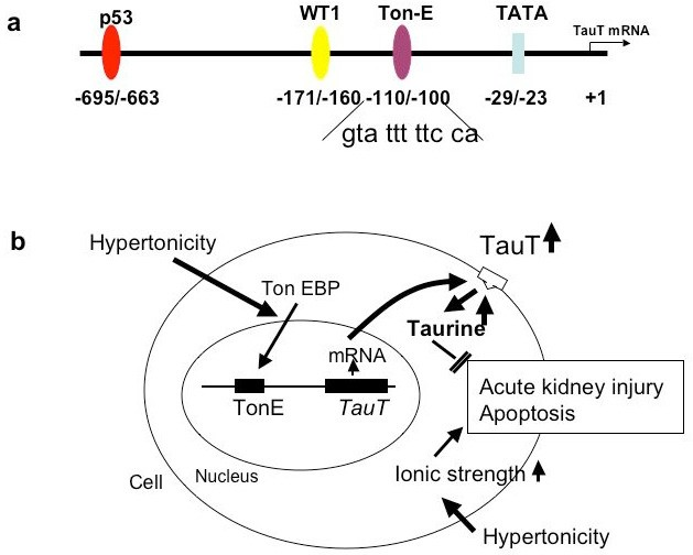 taurine and the renal system