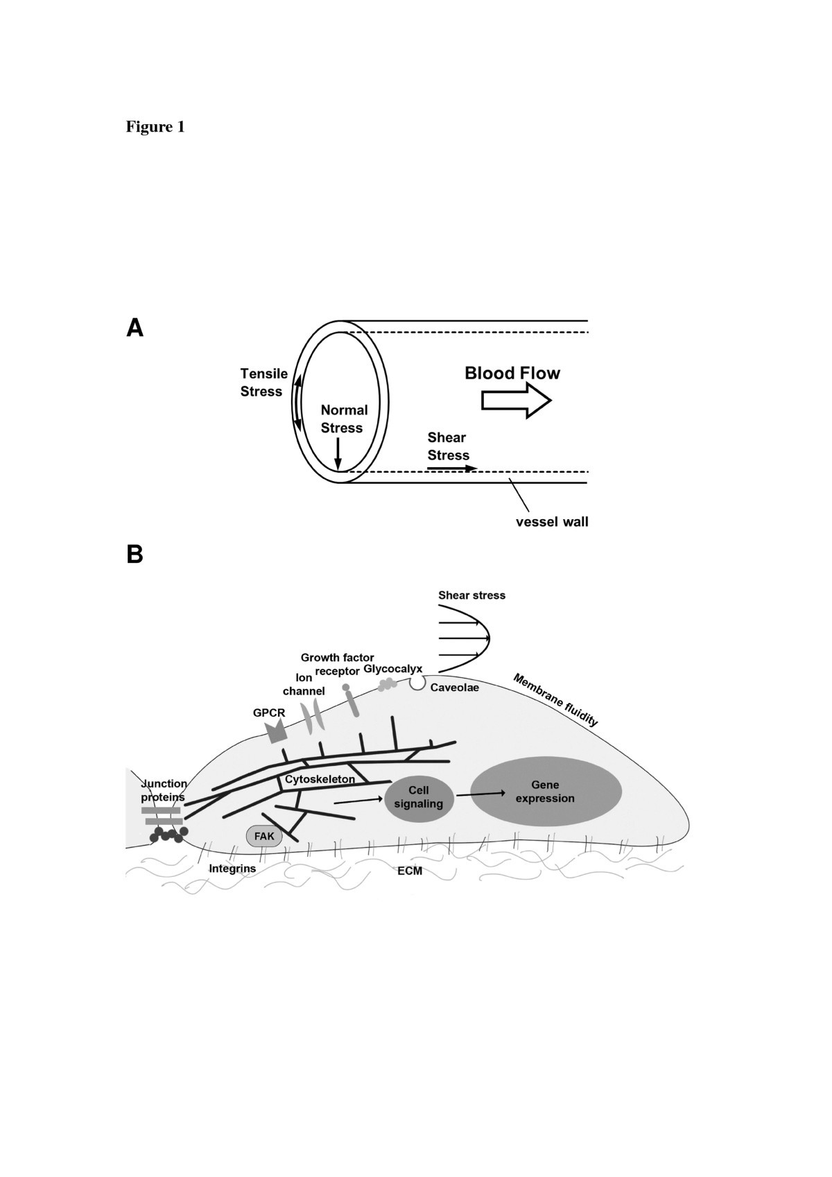 Shear Induced Endothelial Mechanotransduction The Interplay Between Force Diagrams Review
