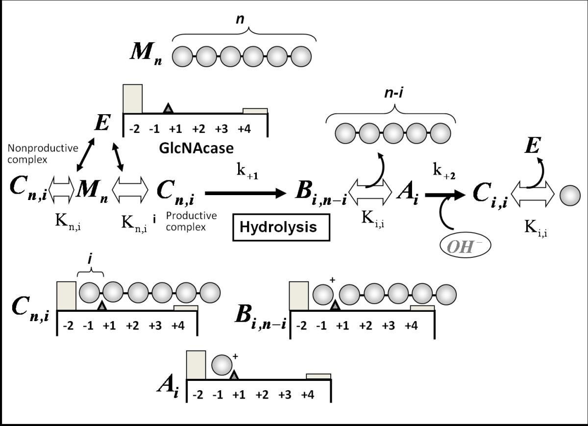 Novel β-N-acetylglucosaminidases from Vibrio harveyi 650: Cloning