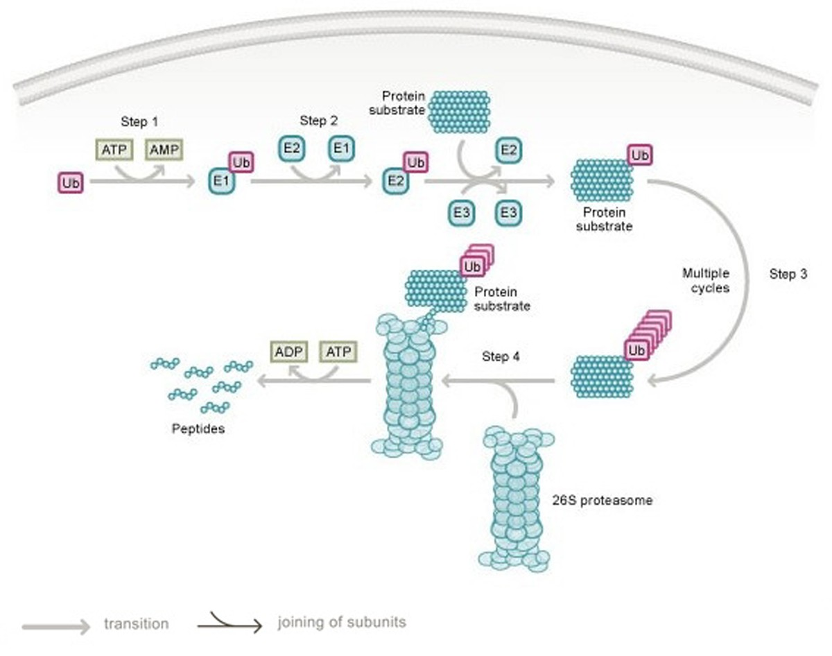 role of the ubiquitin proteasome system in renal cell