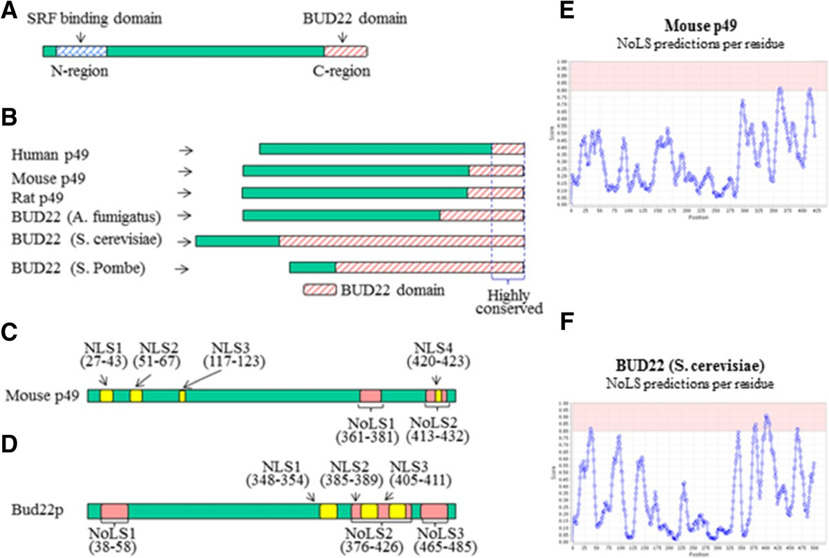 Overexpression of p49/STRAP alters cellular cytoskeletal structure ...