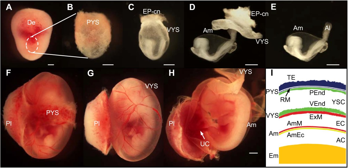 Amnion formation in the mouse embryo: the single ...  Amnion formatio...