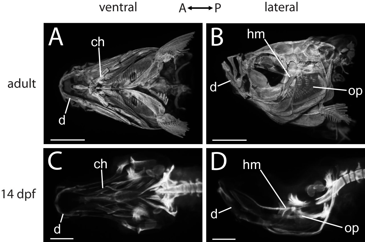 FishFace: interactive atlas of zebrafish craniofacial development at ...