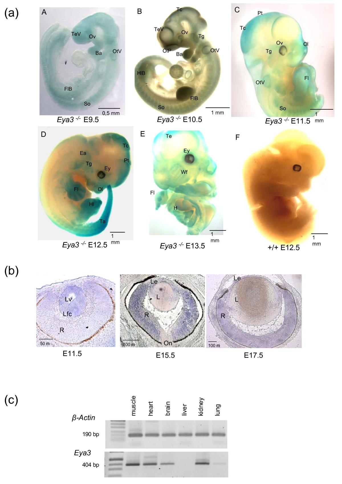 Pleiotropic Effects In Eya3knockout Mice Bmc Developmental Biology Box Switch On Furthermore Emka Keys Addition Circuit Breaker Figure 3