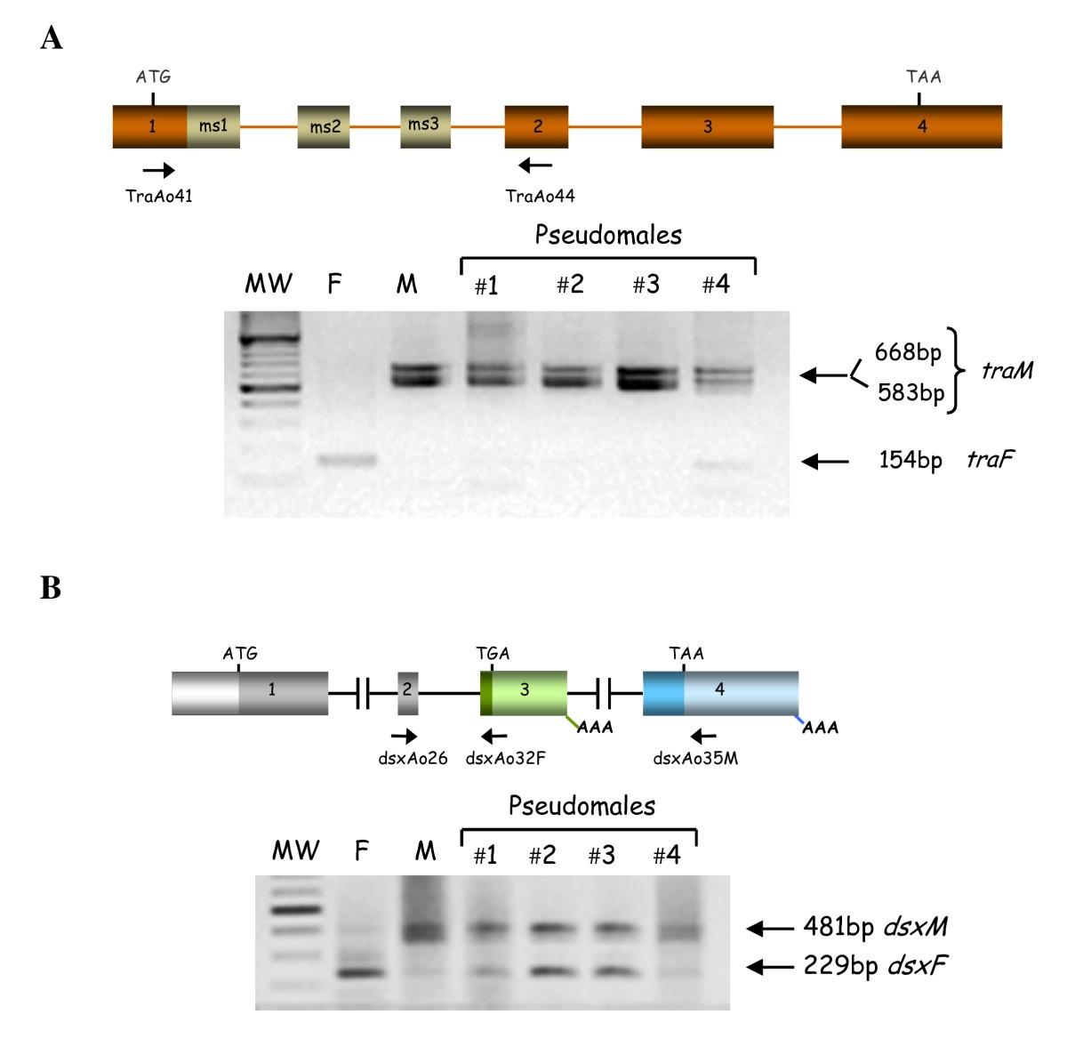 The Gene Transformer 2 Of Anastrephafruit Flies Diptera Schematic A Typical Scott T Is Shown Below Figure 4