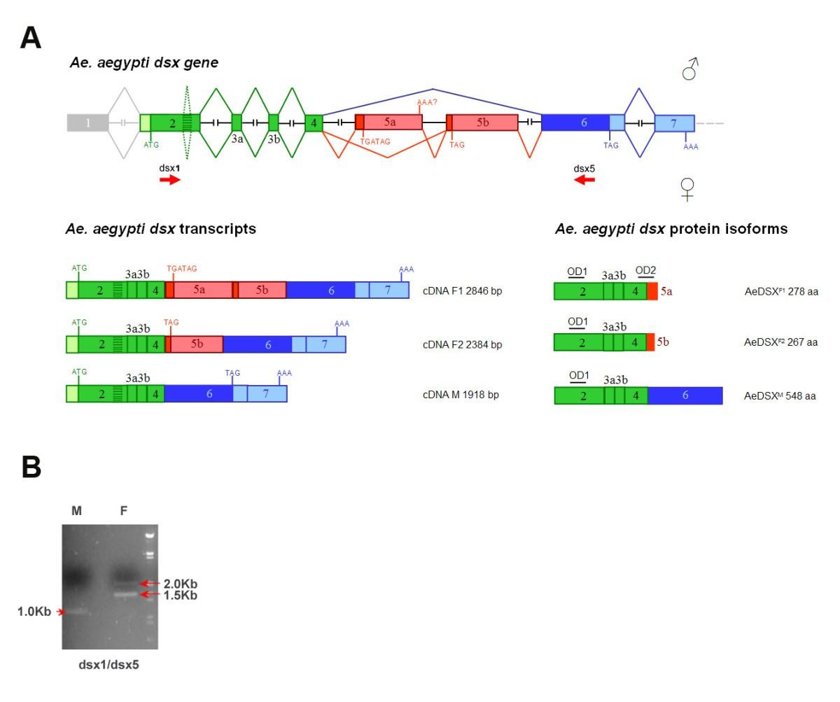 Genomic Organization And Splicing Evolution Of The Doublesex Gene A Schematic Typical Scott T Transformer Is Shown Below Figure 1