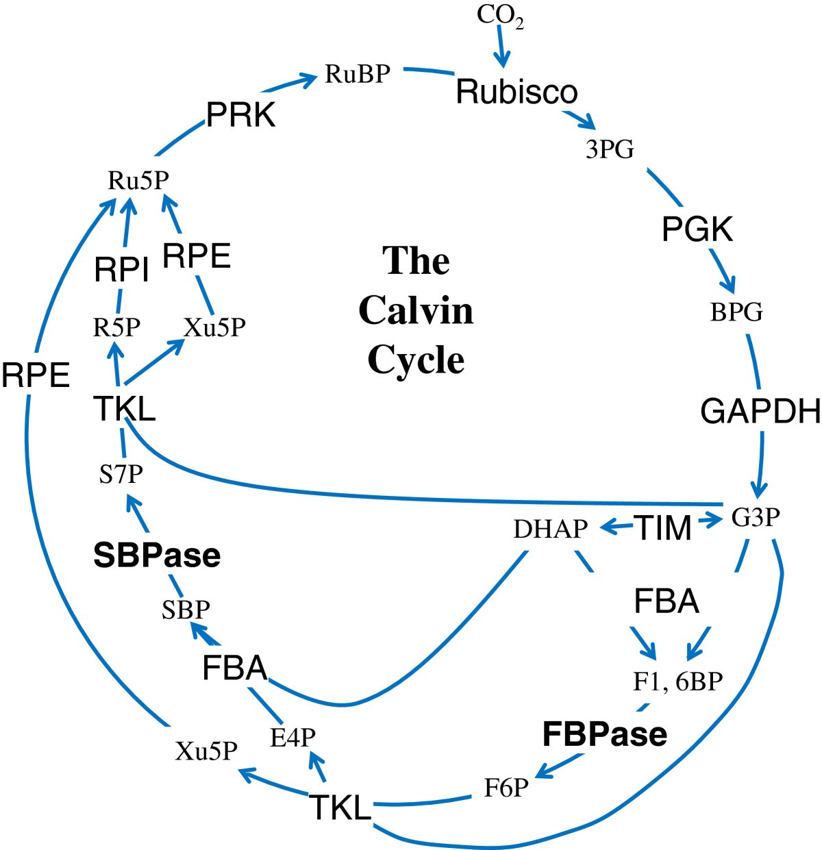 The Independent Prokaryotic Origins Of Eukaryotic Fructose 1 6 Figure Schematic Diagram A Cell Representation Calvin Cycle