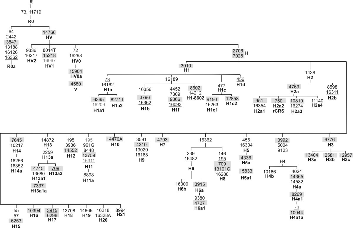 Timing And Deciphering Mitochondrial Dna Macro Haplogroup R0