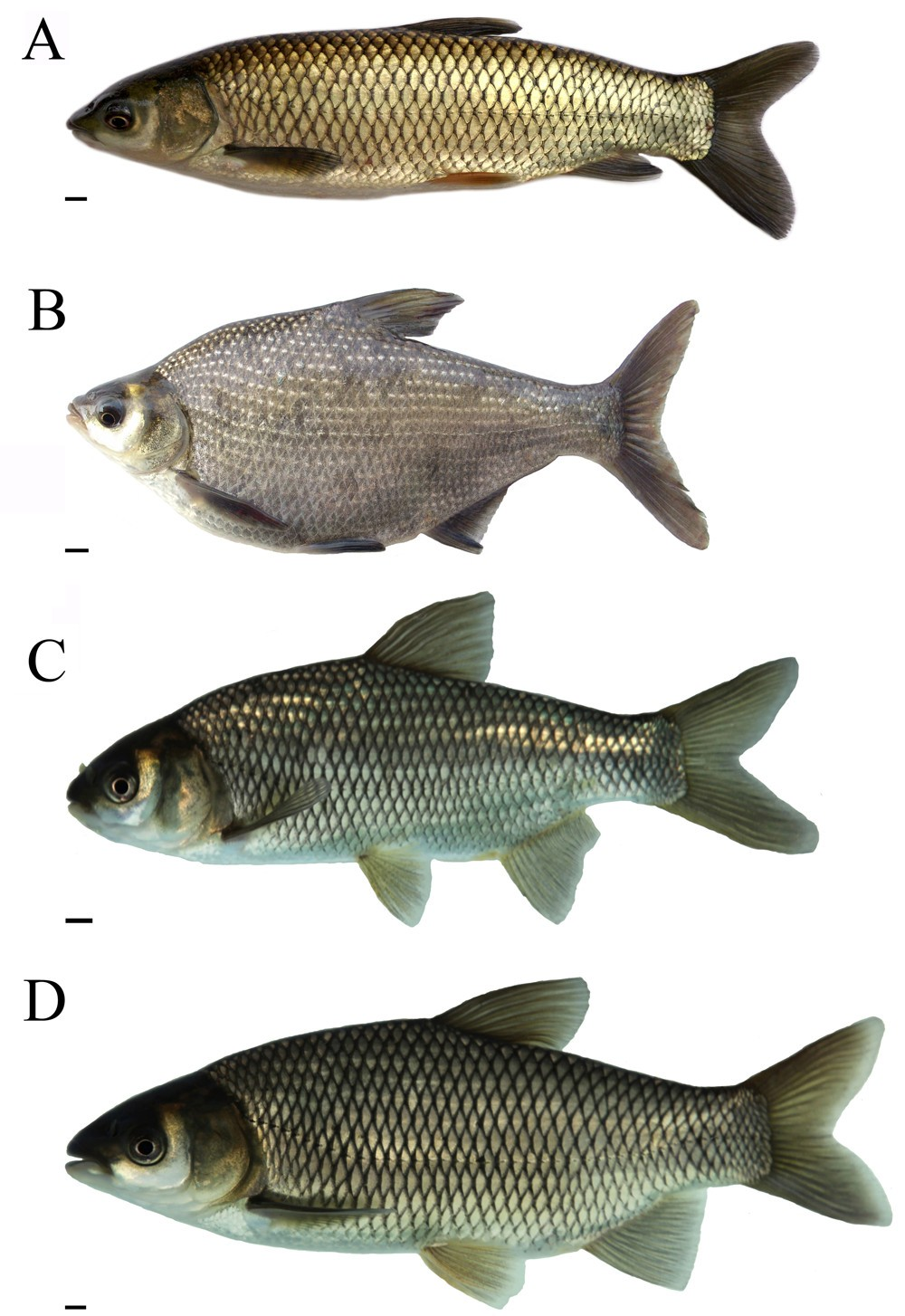 Fried crucian carp. Caloric content and use of fish after processing