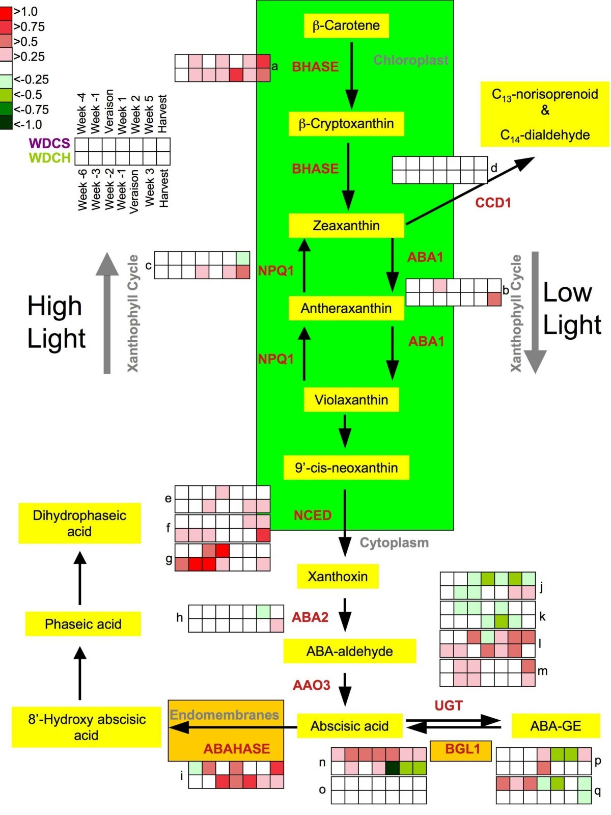 Water Deficit Alters Differentially Metabolic Pathways Affecting Thread Wj Vacuum Diagram Figure 4