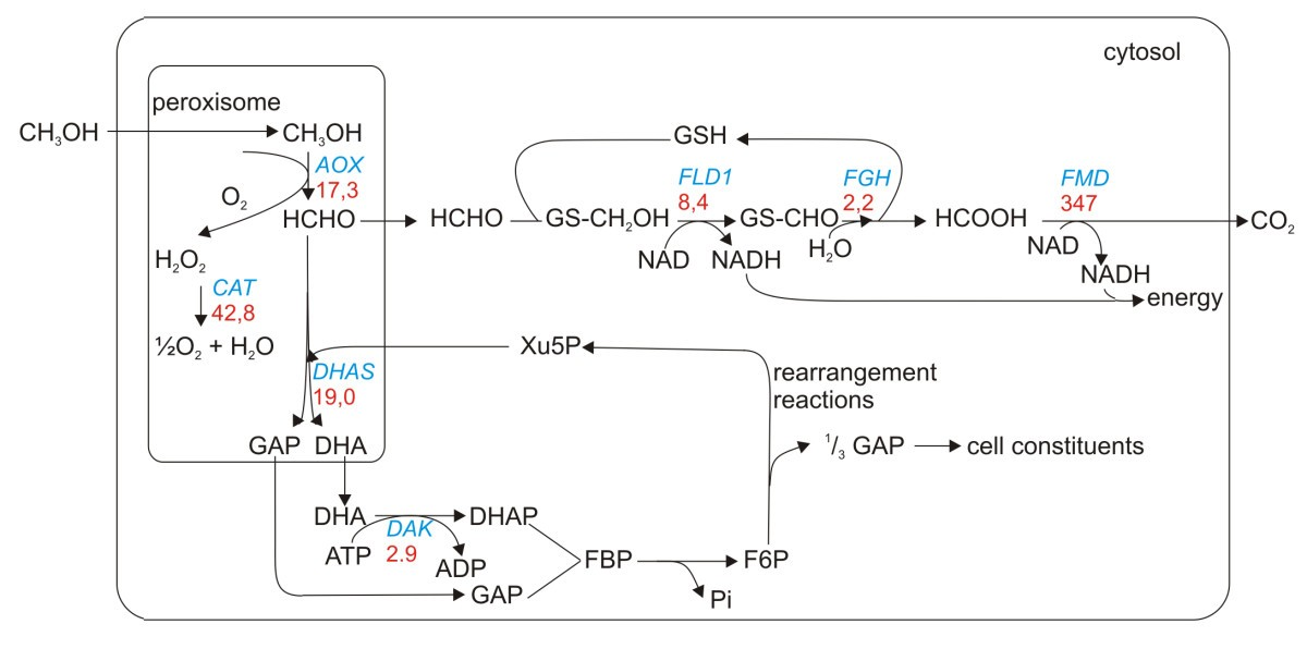 metabolic pathways - upregulation of methanol metabolism