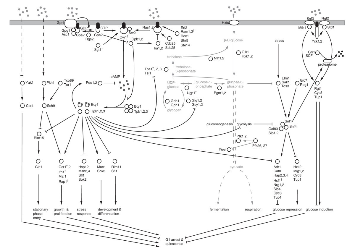 Yeast Glucose Pathways Converge On The Transcriptional Regulation Of Engineering Schematics Plasma Flat Screen Figure 1