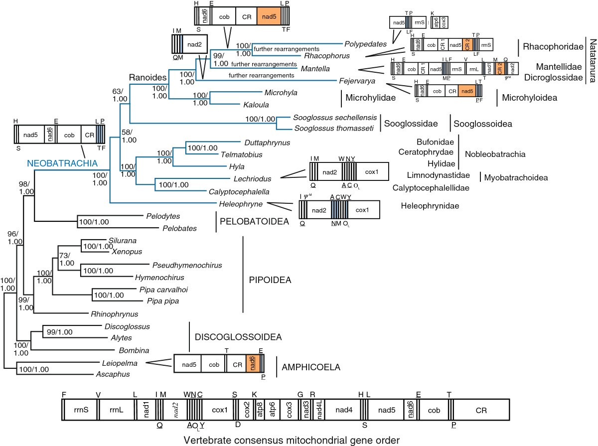 the origin of modern frogs neobatrachia was accompanied by