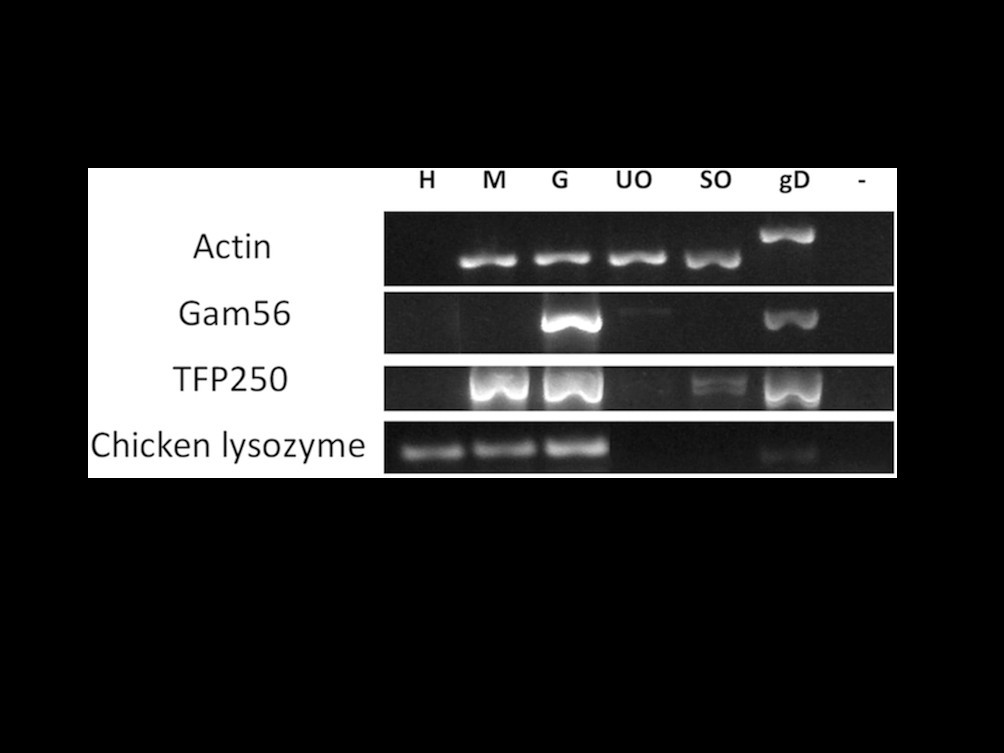 Stage-specific expression of protease genes in the apicomplexan