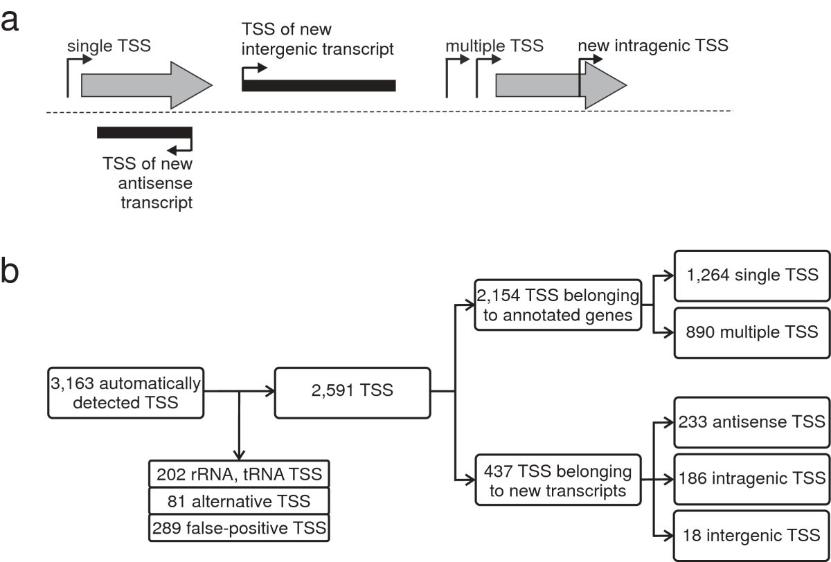 Comprehensive Analysis Of The Corynebacterium Glutamicum