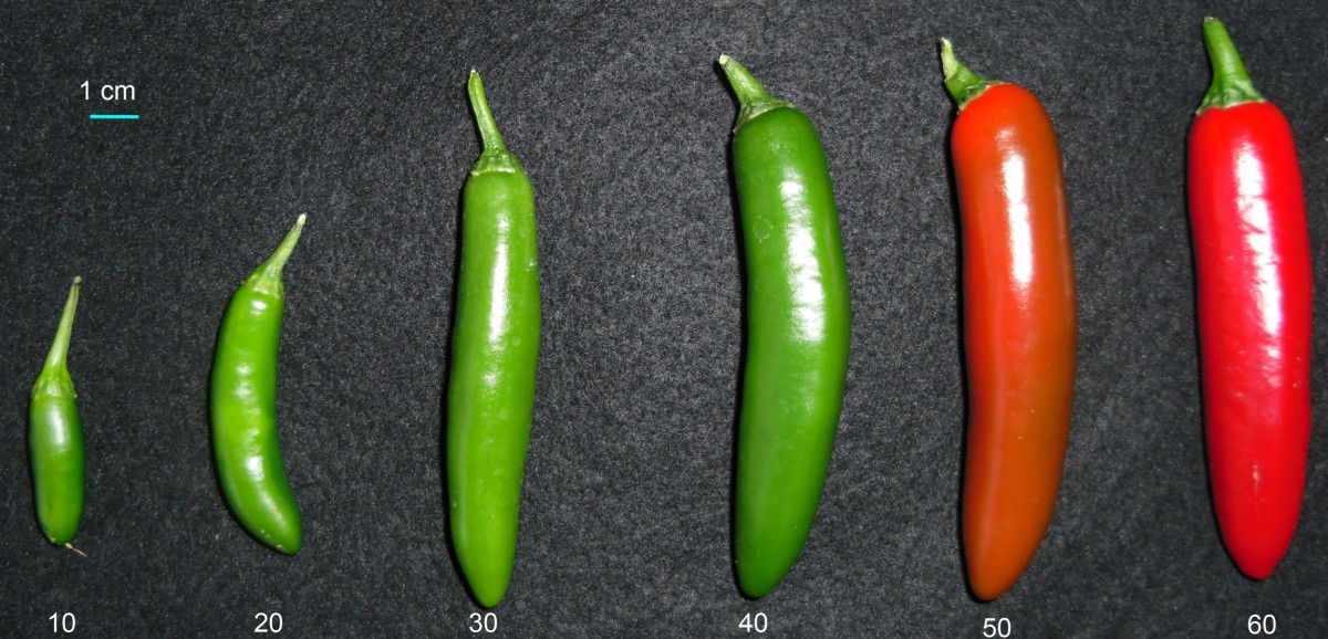 Dynamics Of The Chili Pepper Transcriptome During Fruit Development
