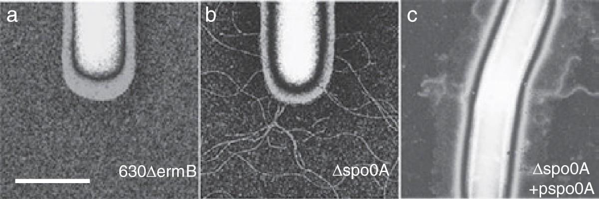 Figure 6 Functional genomics reveals that Clostridium