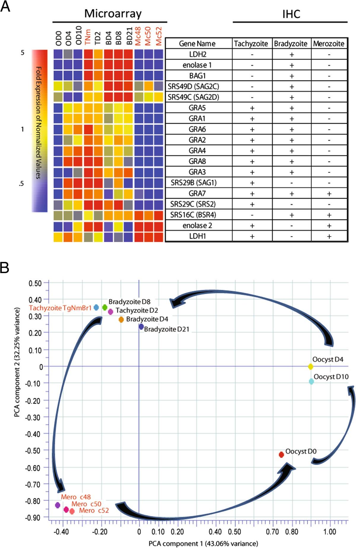 Toxoplasma gondii merozoite gene expression analysis with