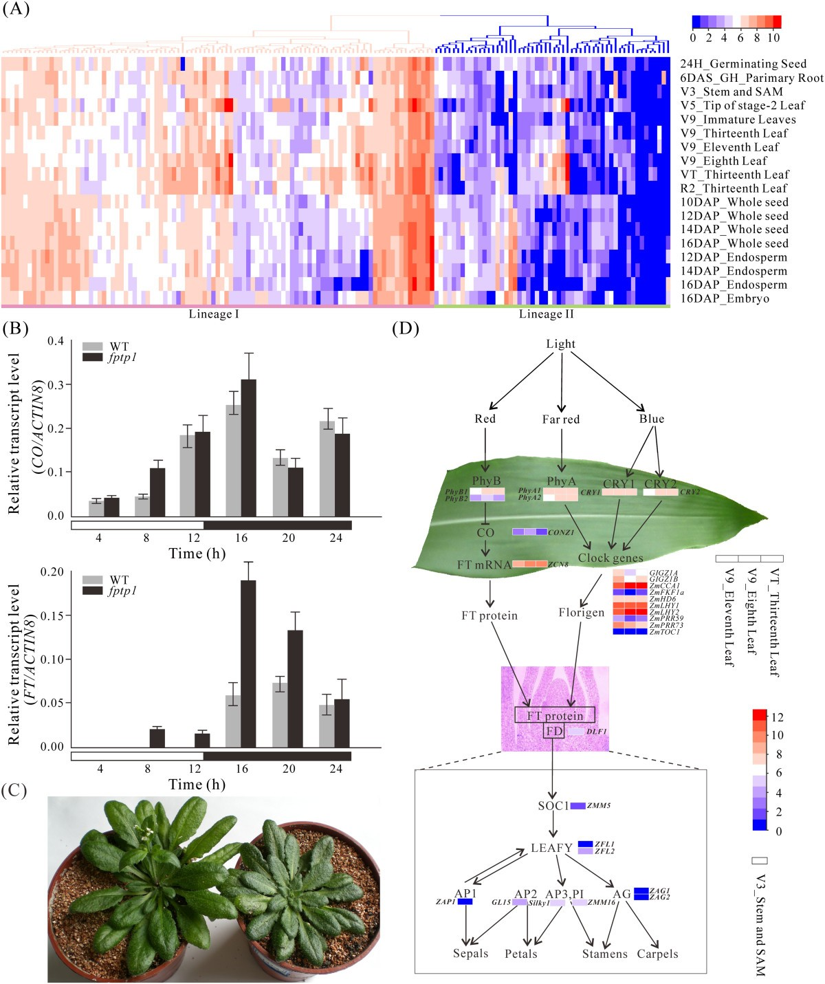 Maize Protein Phosphatase Gene Family Identification And Molecular Seed Germination Diagram Monocot Figure 3