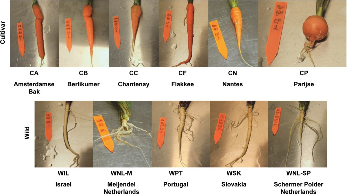 New Insights Into Domestication Of Carrot From Root