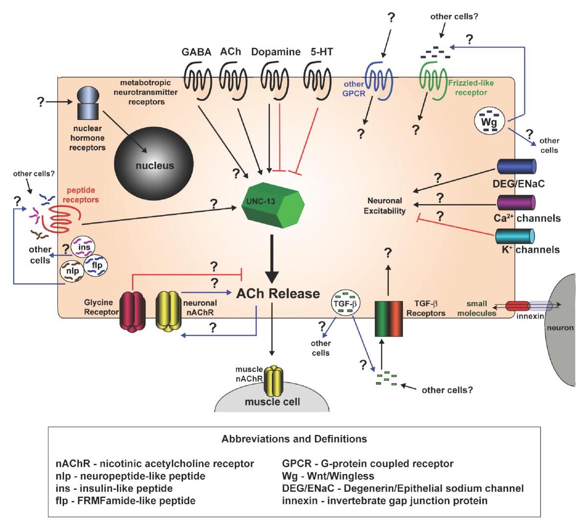 A Gene Expression Fingerprint Of C Elegans Embryonic Motor Neurons 302 188 Wiring Diagram Figure 8