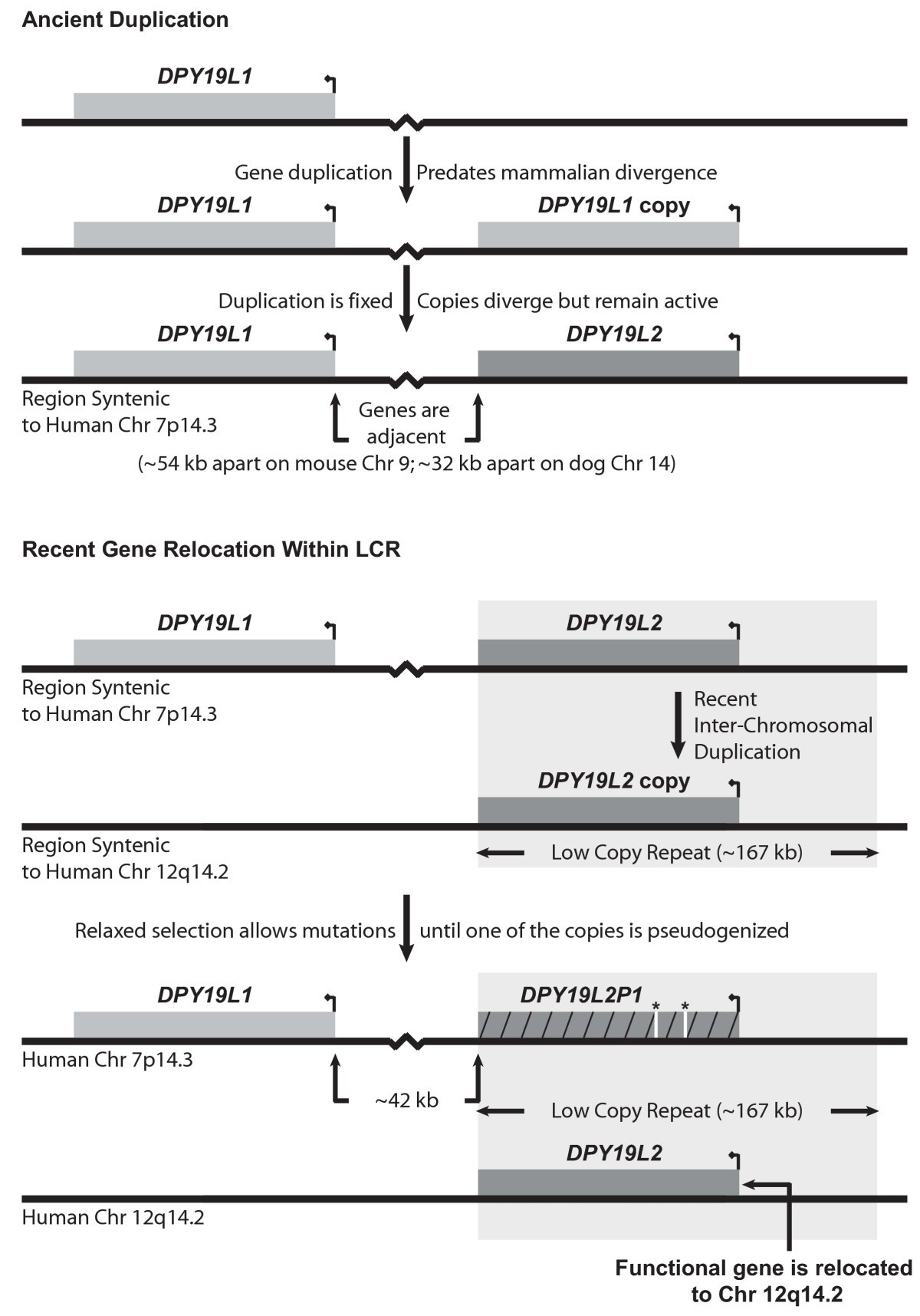 Duplication and relocation of the functional DPY19L2 gene within low