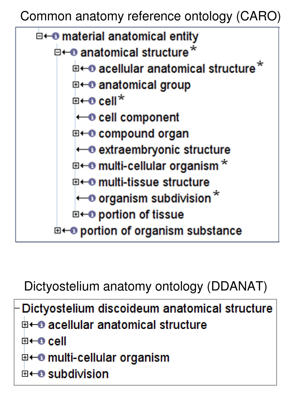 An Anatomy Ontology To Represent Biological Knowledge In
