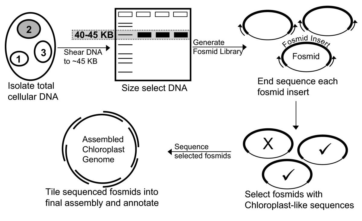 Chloroplast genome sequencing analysis of heterosigma akashiwo figure 1 ccuart Image collections