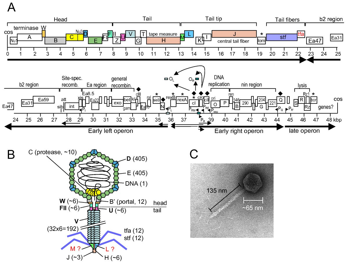 lambda protein activator and repressor