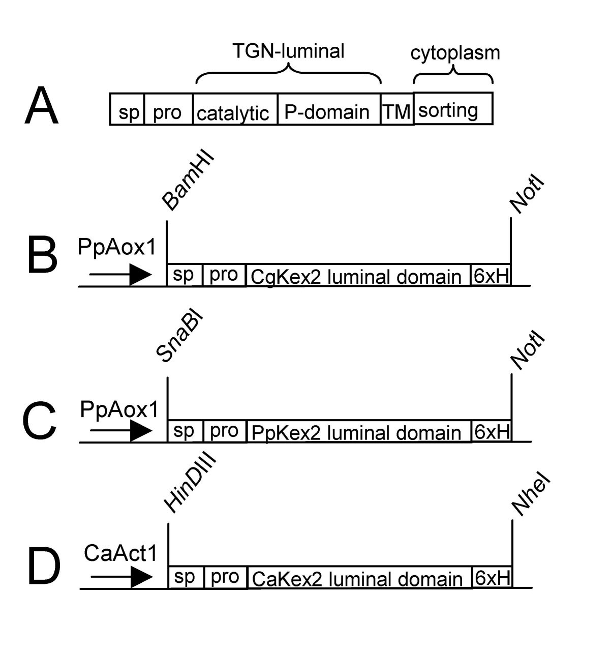 Processing of predicted substrates of fungal kex2 proteinases from figure 1 ccuart Choice Image