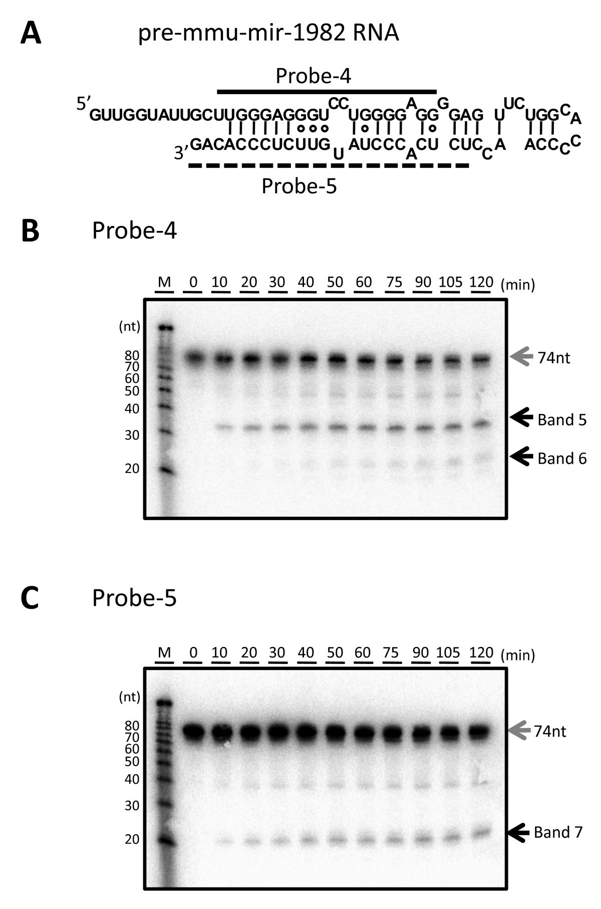 two step cleavage of hairpin rna with 5 overhangs by human dicer Three Types of RNA Molecules figure 6