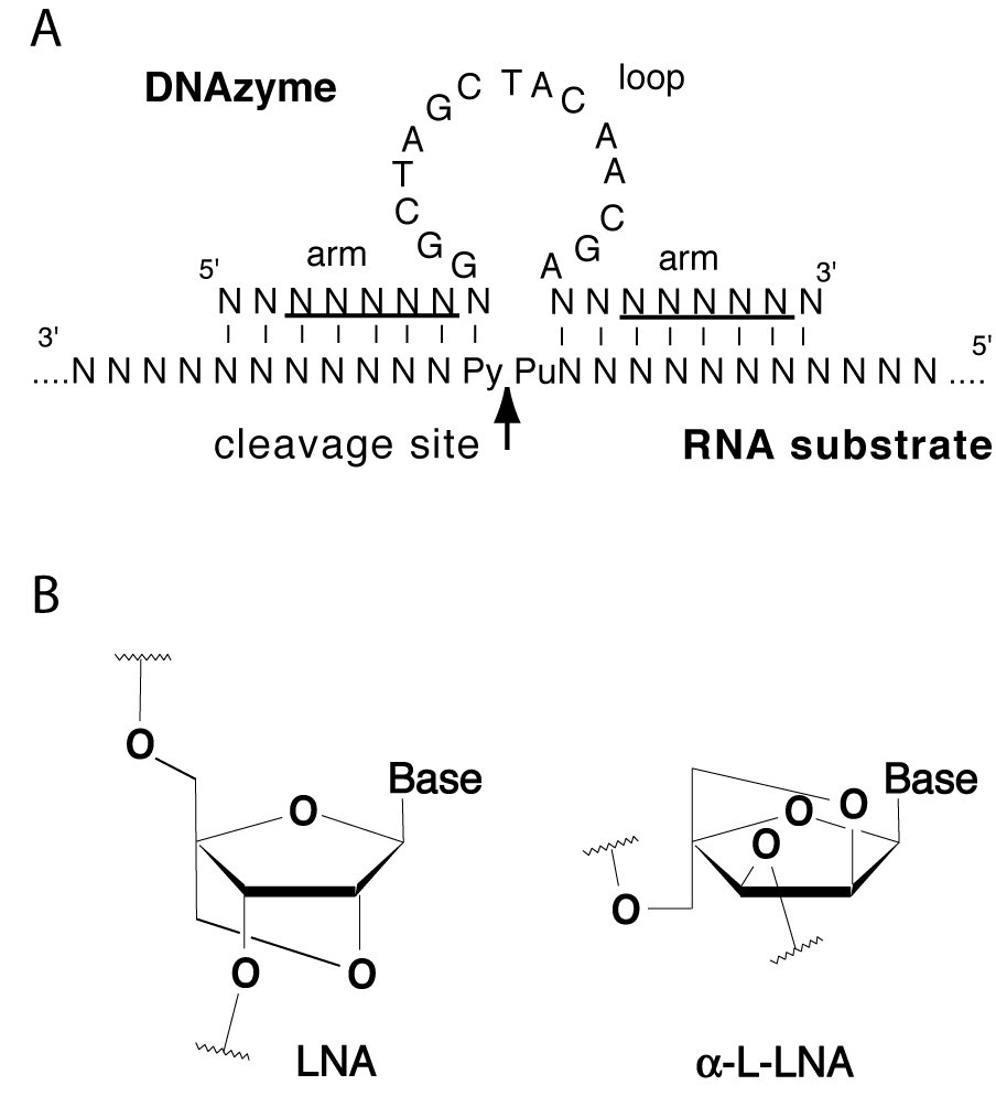Locked Nucleoside Analogues Expand The Potential Of