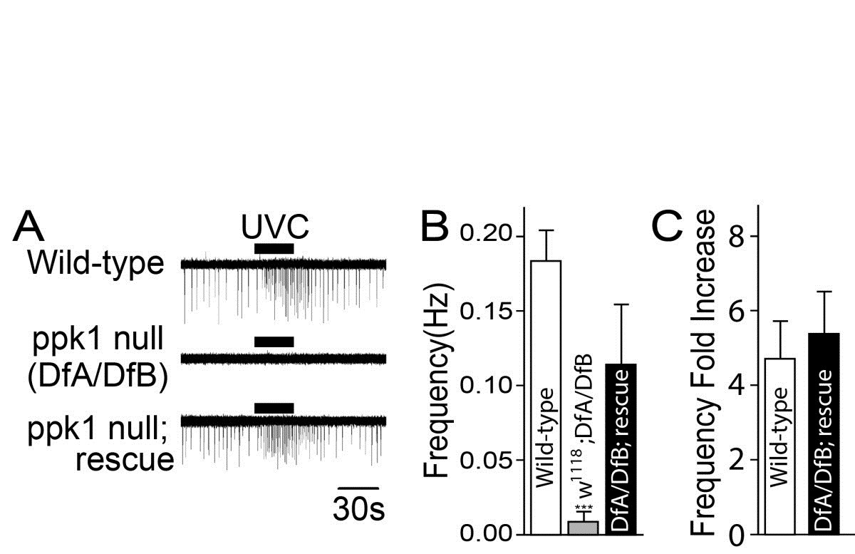Ros Mediated Activation Of Drosophila Larval Nociceptor Neurons By Egg Timer Circuit Figure 4