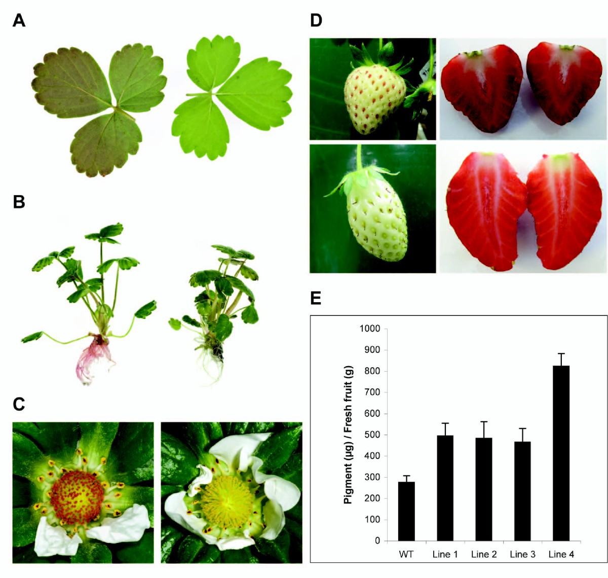 An R2r3 Myb Transcription Factor Associated With Regulation Of The Morin Strawberry Figure 8
