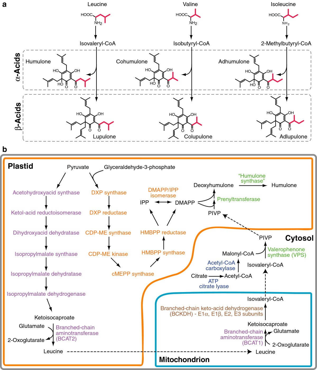 Transcriptome Analysis Of Bitter Acid Biosynthesis And Precursor Oliver Super 55 Schematic Figure 1