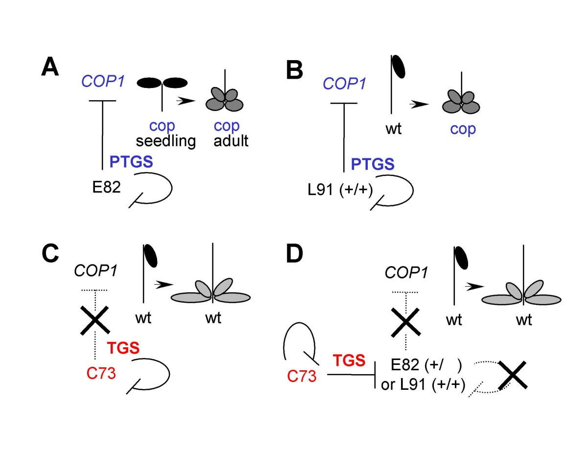 Epigenetic History Of An Arabidopsis Trans Silencer Locus And A Test