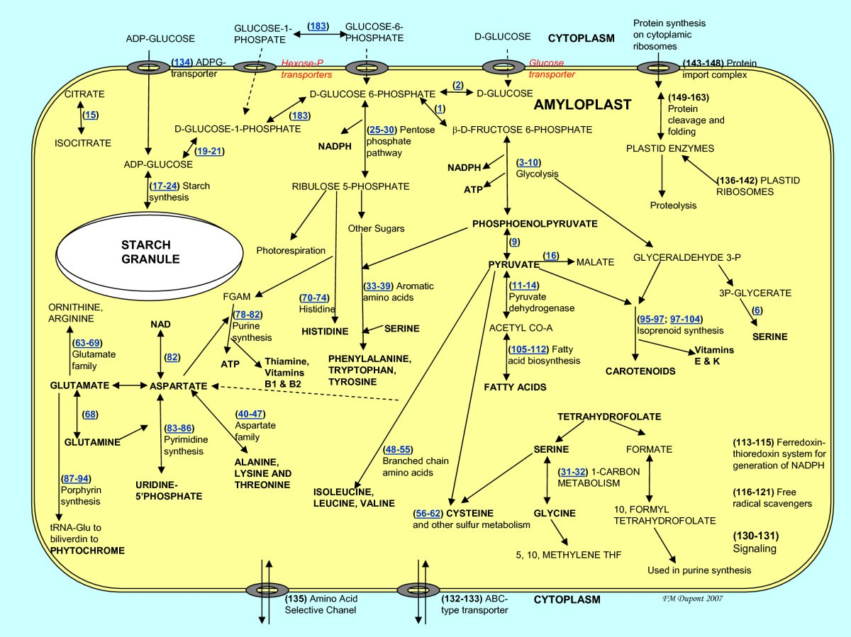 12870_2007_Article_247_Fig1_HTML metabolic pathways of the wheat (triticum aestivum) endosperm