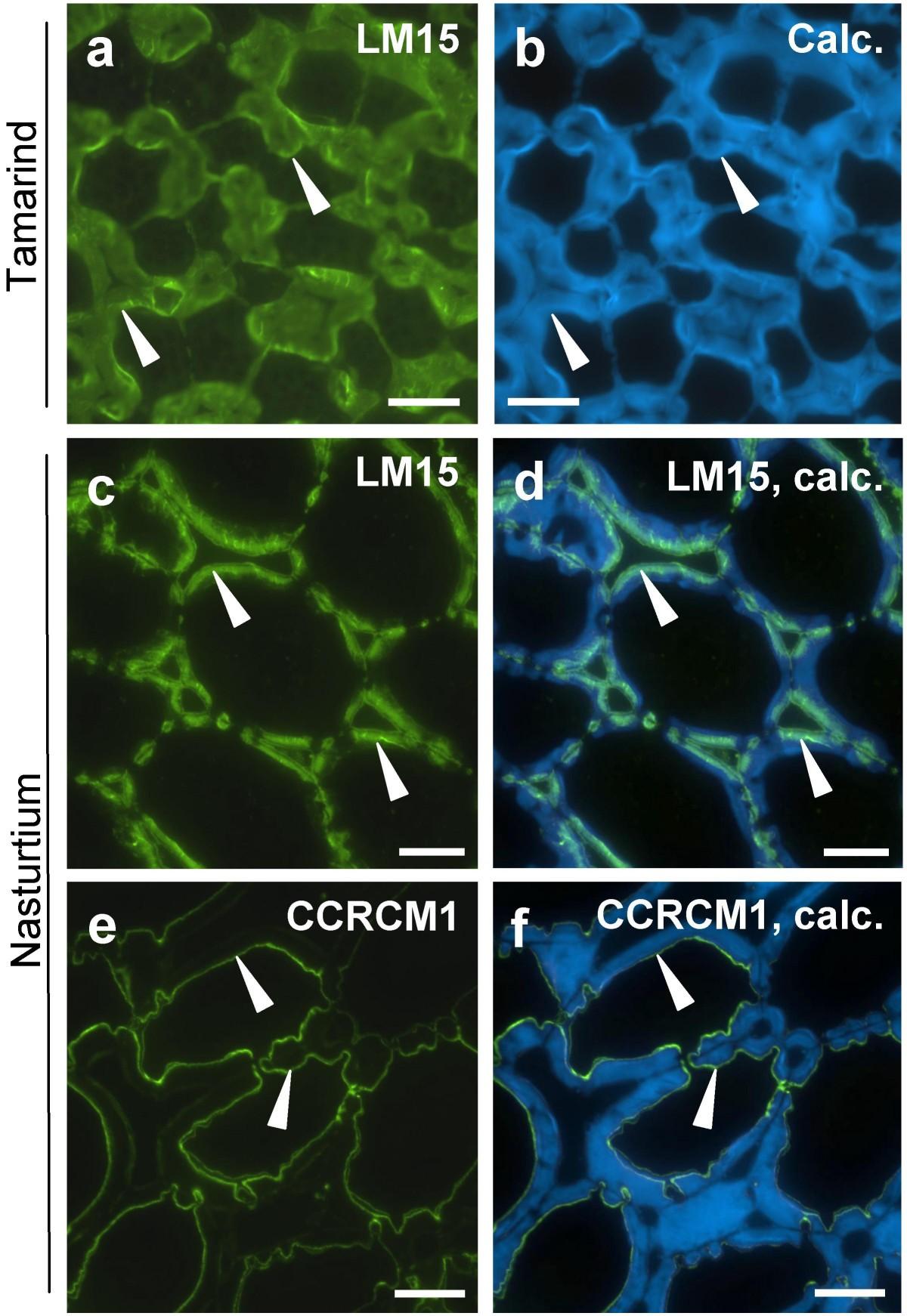 Pectic Homogalacturonan Masks Abundant Sets Of Xyloglucan Epitopes Backgroundpicturesfeplant Cell Diagram Plant Figure 4