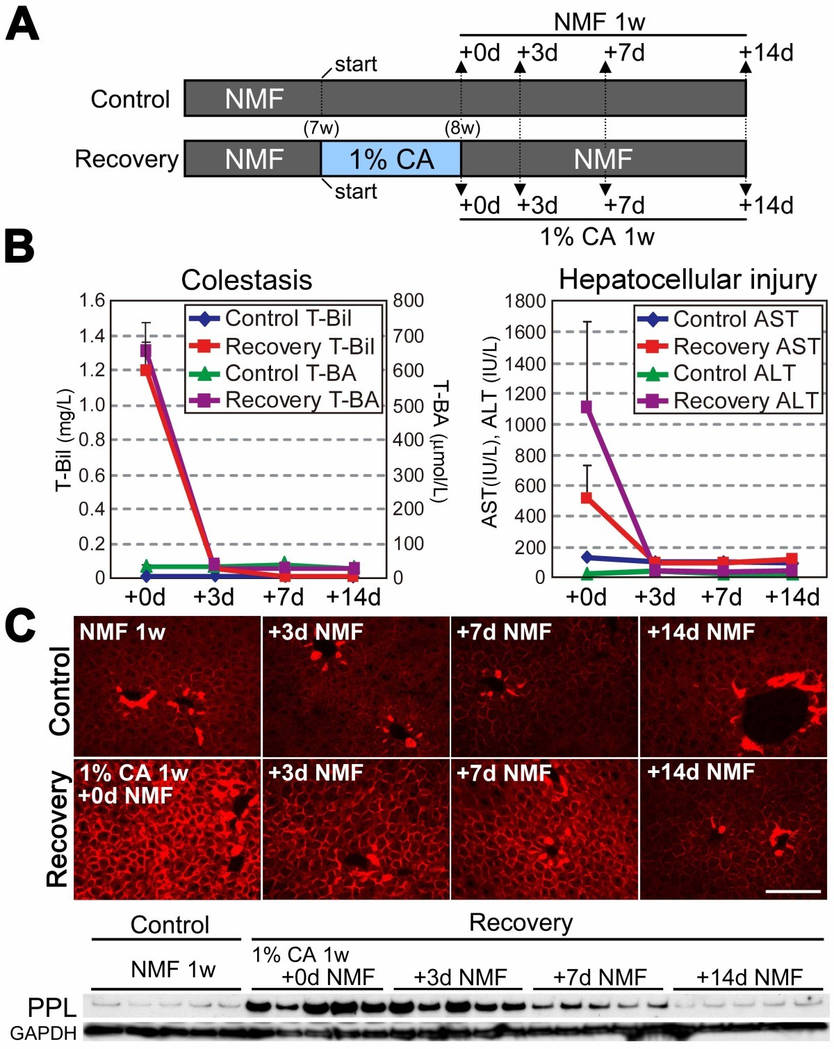 Cholestasis Induces Reversible Accumulation Of Periplakin In Mouse
