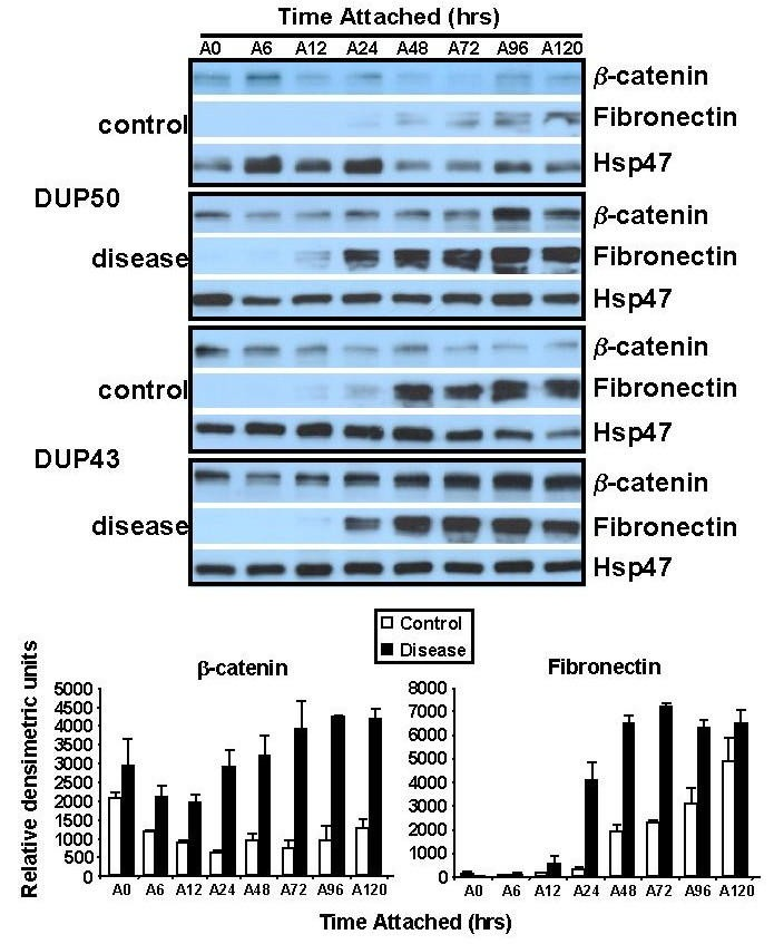 Elevated levels of β-catenin and fibronectin in three-diional ... on
